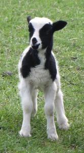 Lamb to ewe 2