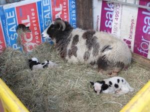 2015 lambs to ewe 12
