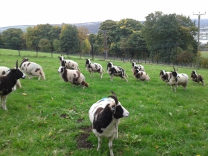 All ewes including lambs - synchronised piddles
