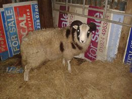 ram lamb in shed