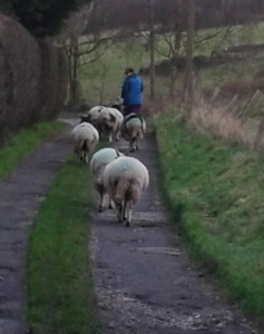 Walking with sheep
